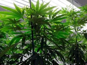 Marijuana License