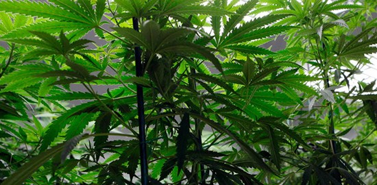 Washington applicants seek marijuana grow licenses more than retail