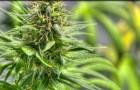 Liquor Control Board Clarifies Next Steps in its Preparation to Issue Marijuana Licenses