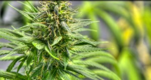 Marijuana Infused Products Approval Process