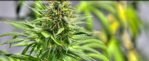LCB Says Keep Home Grows For Medical Marijuana