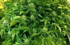 Washington Cannabis Patient Protection Act