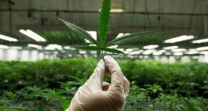 Courses For Marijuana Business