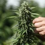 Marijuana local ordinance attorney